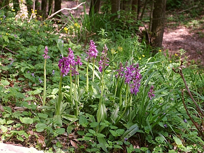 Orchis Mascula in the Wild